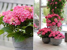 Hogyan ápoljam a cserepes hortenziát?   Bálint gazda kertről, növényekről Plants, Plant, Planets
