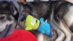 Dog Cataracts surgery - recovery video of Kylo the Husky Puppy - YouTube