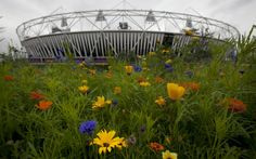 Closeup of annual meadows near the main stadium, with blue corncockle, orange Californian poppies and marigolds in the mix. The seed mixes are not 'natural' but have been designed to mimic the effect of a wildflower sward. Picture: HEATHCLIFF O'MALLEY