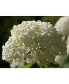 Hortensia Hydrangea arborescens Sheep Cloud