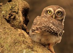 "500px / Photo ""The Spotted Owlet's glaaaaare..."" by Bhanu Kiran Botta"