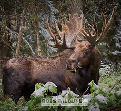 Yellowstone National Park Bull Moose #moose #WildPlanetCover http://RobsWildlife.com http://ift.tt/1rBg23p  #Robswildlife #Yellowstone #Adventure #YNP #YellowstoneNationalPark  #Action #Canon #canoncamera  #wyoming  #Nature #NationalGeographic #nature_of_our_world  #usinterior  #Natgeo #WildPlanetCover #Wildlife #Nature #naturephotography #mossbackoutfitters