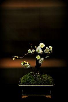 Bonsai 盆栽 #craft #japan