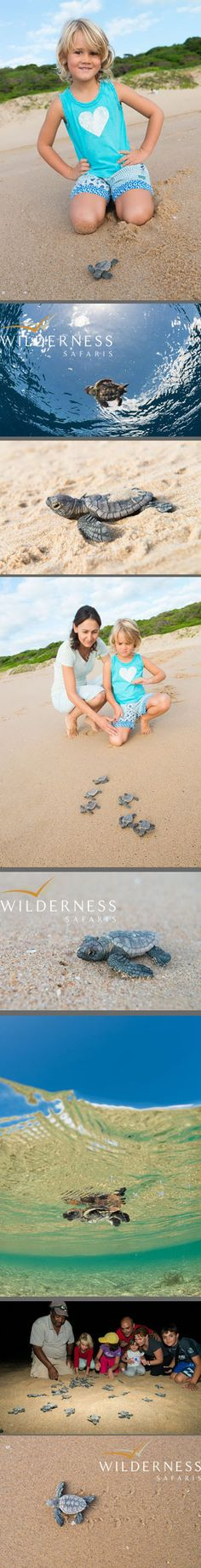 Rocktail Beach Camp - February 2013 - Some 60 leatherback and 100 loggerhead hatchlings were seen this month at Rocktail. Click on the image for the full story.