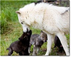 Save the Wolfs from..Wild for Wildlife and Nature