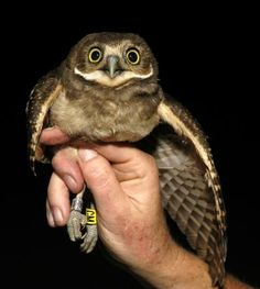 602ffa7d2d NMSU Researchers Unearth Burrowing Owl Secrets