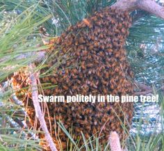 How to catch a swarm of bees by Homestead Lady