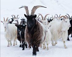 The Icelandic goat