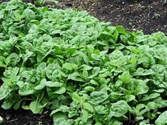 The Homestead Survival | Priming Spinach Seeds For Quicker Sprouting | http://thehomesteadsurvival.com