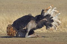 Amazing African Animals: Amazing African Safari Breakfast with The ostrich (Struthio camelus) Eggs Ostrich Bird, The Ostrich, African Animals, African Safari, Camelus, Ostriches, Flightless Bird, Bald Eagle, Lion Sculpture