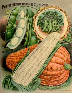 Illustration Vegetable Varieties - Beans, Corn and Squash circa 1894 - Peter Henderson Co.