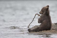 Italian photographer Marco Urso won a special mention in the Wildlife & Nature category for this image of a young bear in Kamchatka, eastern Russia. Wildlife Nature, Nature Animals, Animals And Pets, Wild Animals, Beautiful Creatures, Animals Beautiful, Cute Baby Animals, Funny Animals, Animals Tattoo