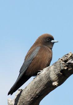 Little Woodswallow from Australia (Artamus minor)
