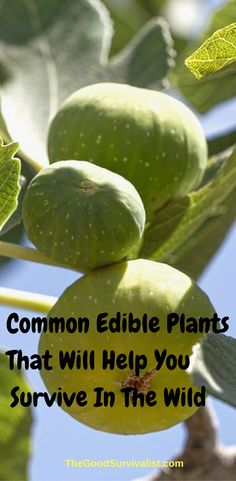 Not only will these common edible plants help you survive in the wild, they are most likely available all around you free for the taking. Some of them are even better for you than buying organic produce at the store. http://www.thegoodsurvivalist.com/common-edible-plants-that-will-help-you-survive-in-the-wild/