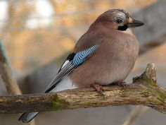 Listen up. Eurasian jays pay attention to the sounds they and other jays make.  Credit: Kylie Millar