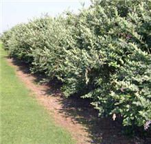 Blueberry hedge? White bell-shaped flowers in spring, berries in summer, turns bright red in the fall, red bare branches in winter. Wow!