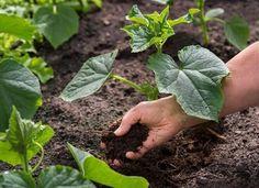 Что кладем в лунку при посадке огурцов для хорошего роста. Посадка и последующая подкормка Succulents, Health, Staging, Aspirin, Role Play, Health Care, Succulent Plants, Salud