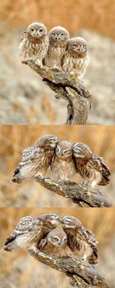 Owl Family Pinned by www.myowlbarn.com