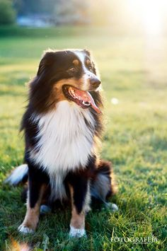 Find Out More On The Energetic Australian Shepherd Size Australian Shepherds, Aussie Shepherd, Australian Shepherd Puppies, Aussie Puppies, Dogs And Puppies, Doggies, Animals And Pets, Baby Animals, Cute Animals
