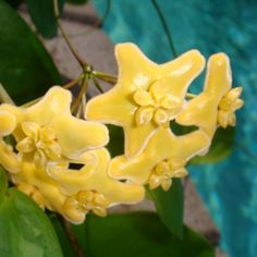Hoya flavescens Cutting IML 1117 [1117x] - $8.00 : Buy Hoya Plants Online in Many Species from SRQ Hoyas Today!