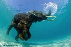 Rajan snorkelling - Jeff Yonover - Wildlife Photographer of the Year 2007 : Gerald Durrell Award for Endangered Species - Highly commended