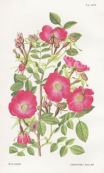 William Curtis Botanical Prints from Curtis Botanical Magazine 1948 and After - Rose