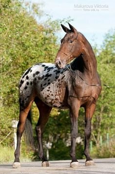 Appys are the strongest, most loyal, incredibly stubborn and ridiculously determined horses. I've never met a horse tougher than an Appaloosa. They're the best ❤️