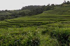 Teeplantage von Cha Gorreana