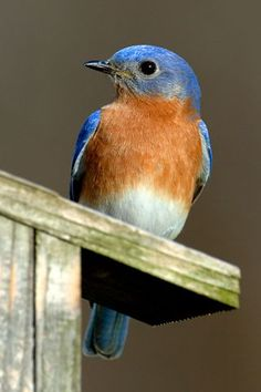 Blue Bird- state bird of NY. I've never seen one, probably because of the overpopulation of American house sparrows