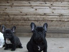 black french bulldogs