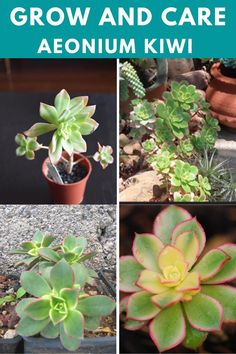 Learn how to grow and care for the aeonium kiwi. Types Of Succulents, Planting Succulents, Aeonium Kiwi, Succulent Care, Canary Islands, Arabian Peninsula, Plants, Plant, Planets
