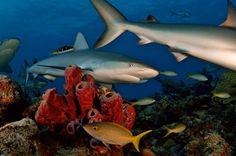 Caribbean Reef Shark Carcharhinus perezii