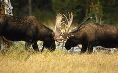pictures of moose | Make Your Yellowstone National Park Lodging Reservations
