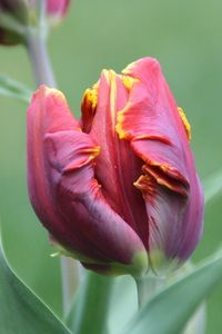 Red and Yellow parrot Tulip looks great in pots in our back garden