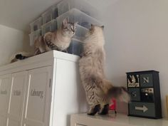 Laisse-moi passer ! Ivana et Chamallow - #british #britishcat #britishlonghair #britishlovers #britivana #cute #cat #cats #chat #chats #catlovers #love #loof #lovely #colorpoint #colourpoint #heart #beauty #beaute #socute #cuteness #amazing #france #cattery #chatterie #kitten #kitty #fluffy #fluffycat #fluffyball #moelleux