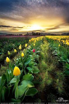 Scott Buehler originally shared:  Skagit Valley, Washington by Howard Snyder. #flowerphotography #washingtonphotography #tulips