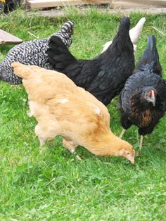 Things Your Chickens SHOULD NOT Eat (plus lotsa other good info!)