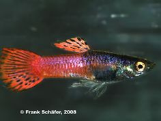 New Guppy Strains | Fresh and Brackish Water Fishes | Forums — Seriously Fish