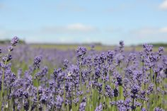 Lavender fields in Snowshill, England