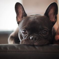 I'm watching you, Mom! Love you! Theo the French Bulldog ❤️ Cute Puppies, Cute Dogs, Dogs And Puppies, Doggies, Terrier Puppies, Corgi Puppies, Boston Terrier, Bull Terriers, Cute French Bulldog