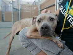 💖 SAFE 7/11/17 💖 SUPER URGENT 7/06/17 My name is FELLO. My Animal ID # is A1116497. I am a male tan am pit bull ter mix. The shelter thinks I am about 6 YEARS old.  I came in the shelter as a OWNER SUR on 06/26/2017 from NY 11691, owner surrender reason stated was NEW BABY.