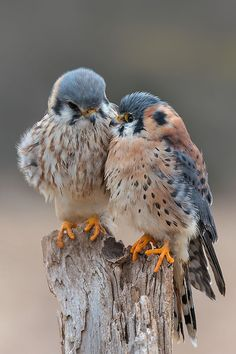 Sweet kestrel pair.