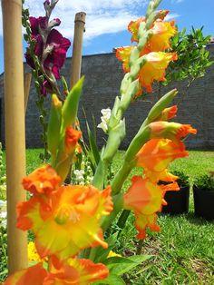 Gladíolo Princes Margaret Rose-amarelo/laranja
