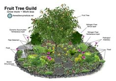 A fruit tree guild supplies you with local, organic, nutrient dense food right at your doorstep. By growing a fruit tree guild you are building personal ...