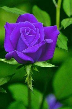Blossom Garden - Paradise of Flowers! Beautiful Flowers Wallpapers, Most Beautiful Flowers, Pretty Flowers, Purple Flowers, Red Roses, Blossom Garden, Blossom Flower, Purple Love, All Things Purple