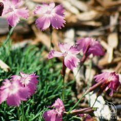 Dianthus 'Royal Midget'
