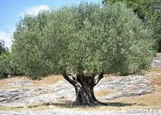 shape of olive trees - Google Search