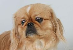 Adopt Dodger, a lovely 11 months 1 day Dog available for adoption at Petango.com. Dodger is a Pekingese and is available at the National Mill Dog Rescue in Colorado Springs, Co. www.milldogrescue... #adoptdontshop #puppymilldog #rescue #adoptyourfriendtoday