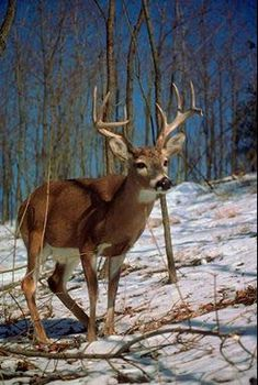 white-tailed deer. Wouldn't mind getting a shot on this buck