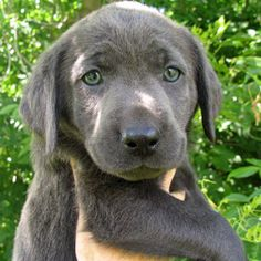 charcoal lab. i need one.  This one wants to come home with me.